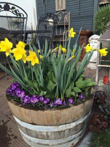 Blühfass mit Tulpen